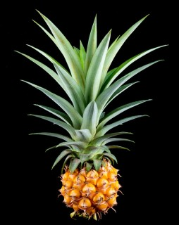 Does-Pineapple-Make-My-Vagina-Takes-Better